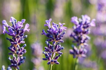 Lavender angustifolia, lavandula blossom in herb garden in morning sunlight