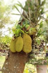 Jackfruit tree in nature