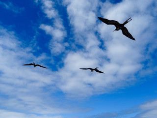 Three silhouettes of Frigate Birds flying,