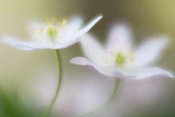 Two white wood anemones wild flowers