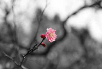 【日本の春】八重梅の花(紅梅)