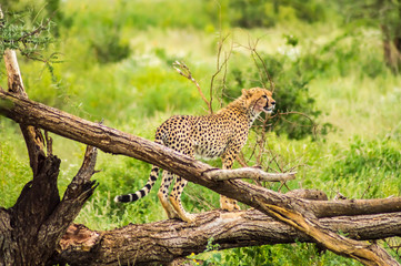 Cheetah perched on a dead tree in Samburu