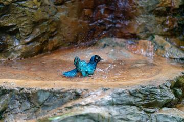 Superb Starling bathing