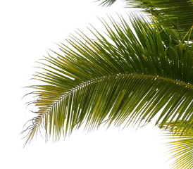 Under coconut tree and coconut leaves on a white background.