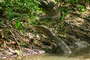 Varanus salvator is a reptile that lives in the water.