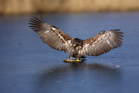 White-tailed eagle (Haliaeetus albicilla) are also known as sea eagle, with fish on ice, falconery. Big bird with prey.