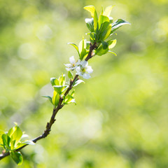 Spring apple blossom against the background blur green leaves bokeh, closeup.