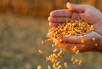 Farmer holding ripe corn grains in his hands at sunset