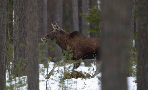 "Elk runs in a forest in Republican landscape reserve ""Naliboksky"" near the village of Kozliki"