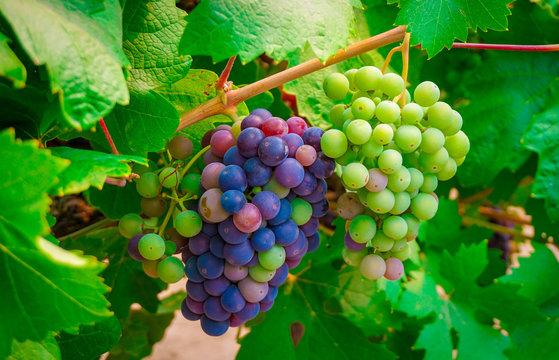 Close up multi-color wine grapes