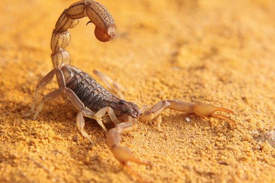 scorpion on yellow