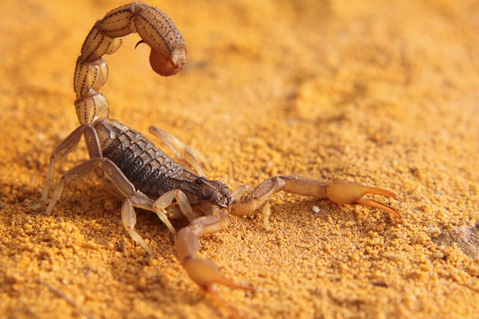 scorpion on yellow sand of the african beach