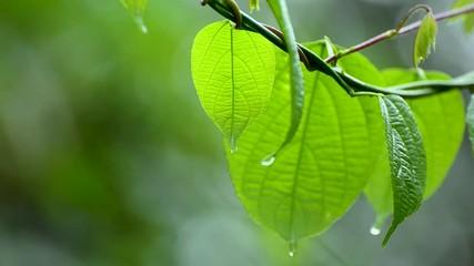 Wall Mural - Rain falls on the moist leaves of plants in the rainy season