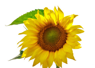 Bright yellow sunflower flower isolated on white background. Sunflowers sun flowers