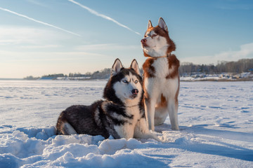 Awesome siberian husky dogs portrait on snow. Winter with blue sky.