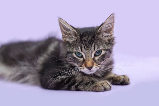 Black tabby manx kitten laying down alone, purple cat toy, purple background