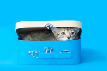 Tiny tabby kitten hiding inside of a blue and tan lunchbox, pencil box, with lid, photo on a blue background