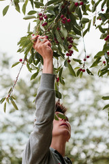 Young man picking cherry berries from tree