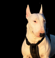 Bull terrier miniatures