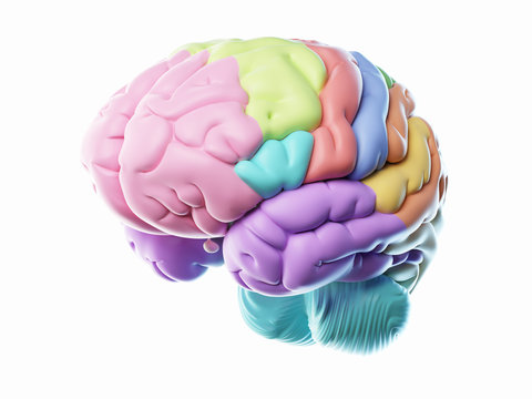 3d rendered illustration of the different human brain areas