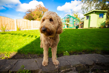 A Golden Doodle breed dog in a garden on a sunny day