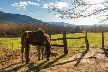 Horse eating grass leaning over fence in Cades Cove, Great Smoky Mountains National Park