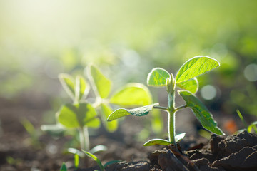 Concept of earth day. Glycine max, soybean, soya bean sprout growing soybeans on an industrial scale. Products for vegetarians. Agricultural soy plantation on sunny day.