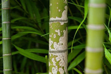 fragment of a green bamboo stem