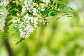 Blooming acacia background
