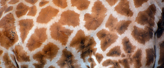 Skin of giraffe (Giraffa camelopardalis) is an African even-toed ungulate mammal, the tallest of all extant land-living animal species, and the largest ruminant.