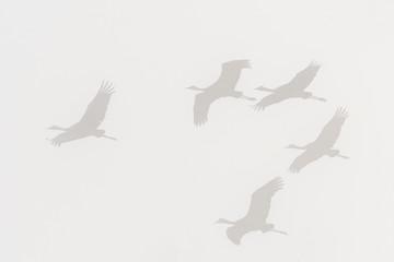 Sandhill cranes in flight on foggy morning;  Alaska