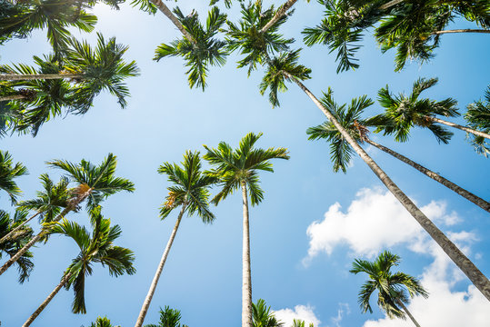 Areca nut or Betel Nuts palm tree with blue sky and clouds background in Thailand. Agriculture plantation or tropical summer beach holiday vacation traveling, resort hotel business concept.