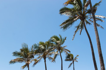 palm tree and blue sky tropical climate in Australia Gold Coast