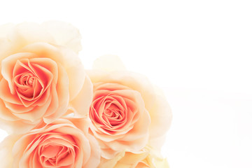 floral background of orange roses