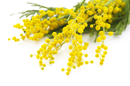 yellow flowers of mimosa on a white background