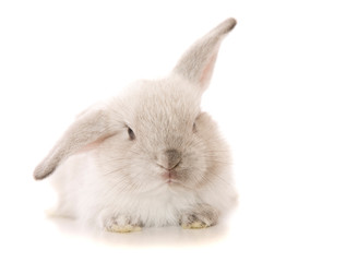 Baby lop eared rabbit in studio shot on whtie background.