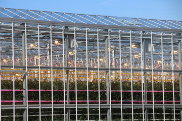 Greenhouse with tomato plants nursery with orange lights on top and LED lights in between for faster growth