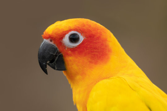 Bird portrait,side view..Close up of sun conure parakeet with black eye  beak and vibrantly yellow orange feather isolated blurred background..