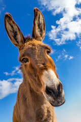 Funny donkey in Mallorca, Balearic Islands, Spain