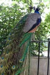 Peacock at the Philadelphia Zoo