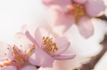 Close up of almond tree pink flower