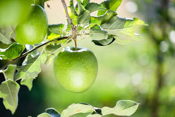 Rippe green apples in the orchard ready for harvests