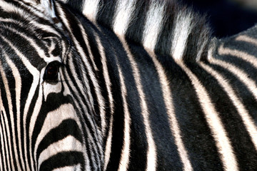 A zebra at Madrid's Zoo.