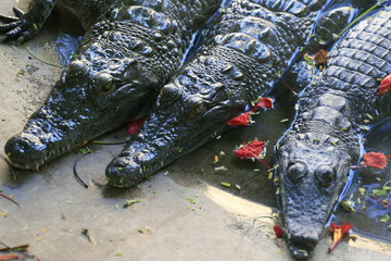 Group of Nile crocodile babies, Crocodylus niloticus, floating and resting in a zoo among red flowers.