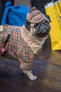 French Bulldog dressed in the style of Sherlock Holmes