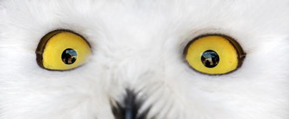 Fotoväggar - yellow eyes of polar owl
