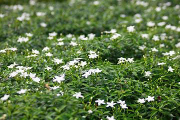 Gerdenia Crape Jasmine in the blooming park