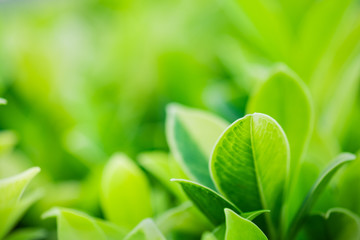 Closeup beautiful view of nature green leaf on blurred greenery tree background with sunlight in garden . It is natural ecology plant and environment copy space concept using for wallpaper