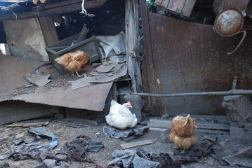 Chickens living in the destroyed house in summer