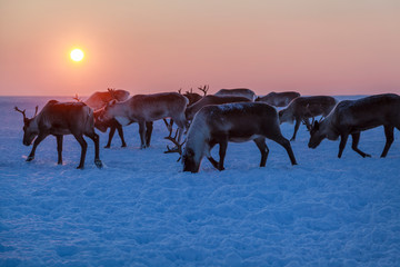 reindeer on the pasture north, amid a warm Sun, at sunset